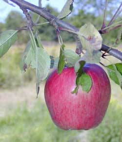 Organic apple in orchard